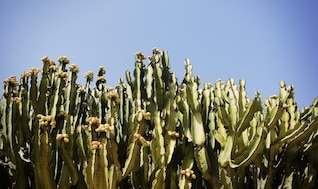 Campo de cactus