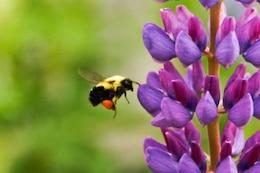 Abeja y una flor violeta