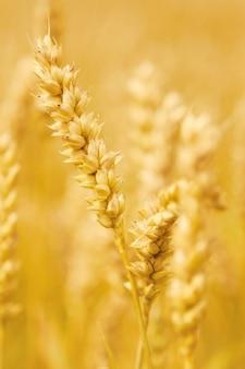 agricultura campo cereal cosecha agrícola agricultura oído