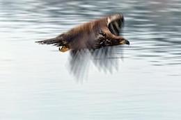 águila calva animales