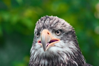 águila close up