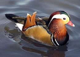 aix pato patos mandarín pájaro galericulata
