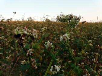 Alforfón, Fagopyrum esculentum, alforfón japonés y alforfón plateado que florece en el campo.
