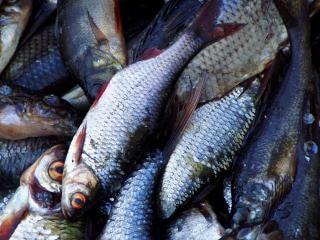 algunos peces