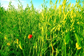 Amapola rodeada de vegetación