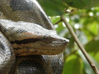 Anaconda en el árbol, la serpiente