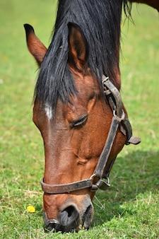 Animal en la hierba. Hermosos caballos pastando libremente en la naturaleza.