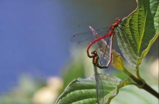 Apareamiento libélulas