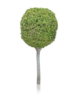 Árbol de hoja perenne sobre fondo blanco