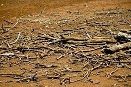 árbol de la sequía muertos