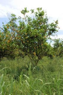 árbol de limón, el limón
