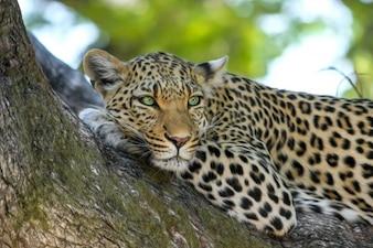 Árbol jaguar bosque verde carne