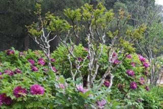 árbol peonía rosa, China