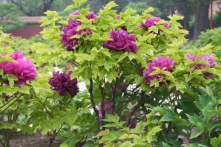árbol peonía rosa, flor