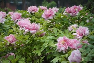 árbol peonía rosa, hermosa primavera,