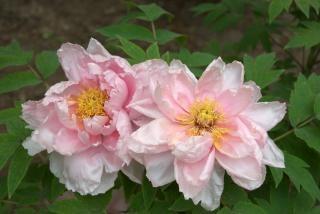 árbol peonía rosa, hermosa