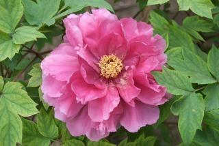 árbol peonía rosa, romántico