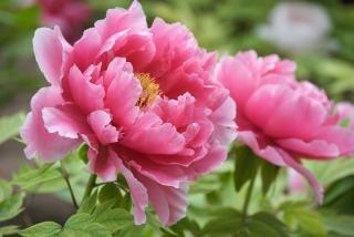 árbol peonía rosa, rosa