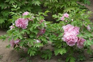 árbol peonía, rosa
