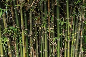 Arboles de bambú