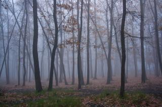 árboles y la niebla