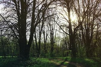 Árboles y puesta del sol del bosque