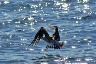 aterrizaje de gaviota, plumaje