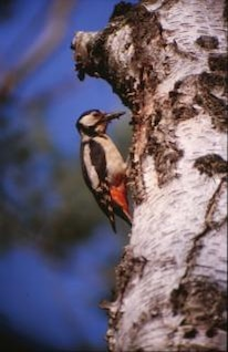 aves, la madera