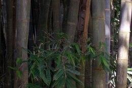bambú verde, las plantas