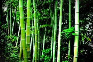bambú verde