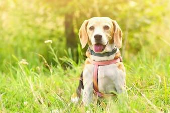 Beagle. Un hermoso disparo de un perro en la hierba.