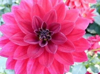 Belleza flor planta jardín de dalias naturaleza