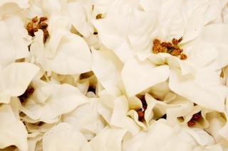 Blanca flor de pascua feliz