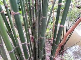 bosque de bambú verde