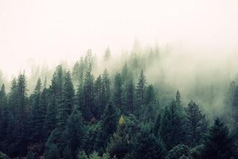 bosque de pinos con niebla