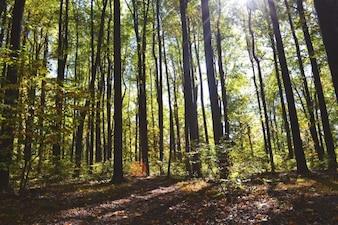 Brillando a través de los troncos
