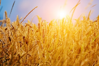 Brizna de trigo al atardecer