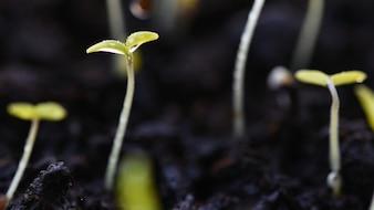 Brotes verdes que crecen desde el suelo. Dewy hojas jóvenes que brotan plantas. Primavera de fondo - jardín.