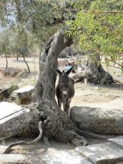 burro descansando en la sombra
