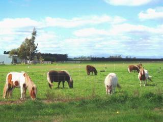caballos pequeños - oeste, cerca de Melton