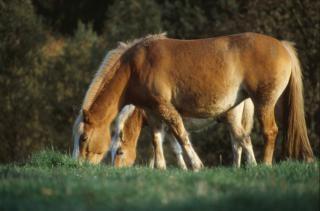 caballos sementales agrícola