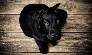 Cachorro negro