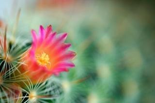 Cactus flor macro gratis
