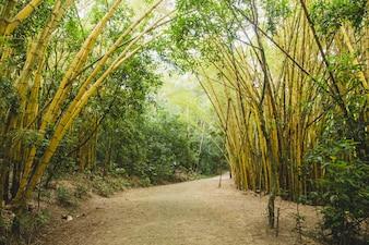 Camino de bosque de bambú