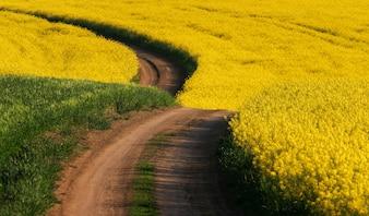 Camino en algún lugar de Moravia del Sur a través de la colza
