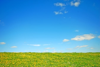 Campo con flores amarillas y el cielo azul