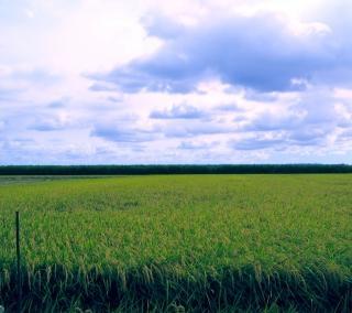 campo de arroz, cielo