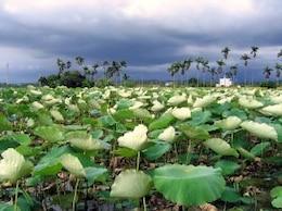 campo de flores de loto, la lluvia