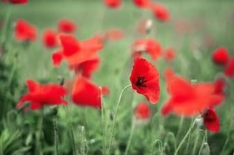 Campo de flores rojas