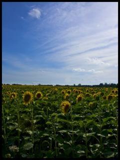 Campo de girasol, la naturaleza